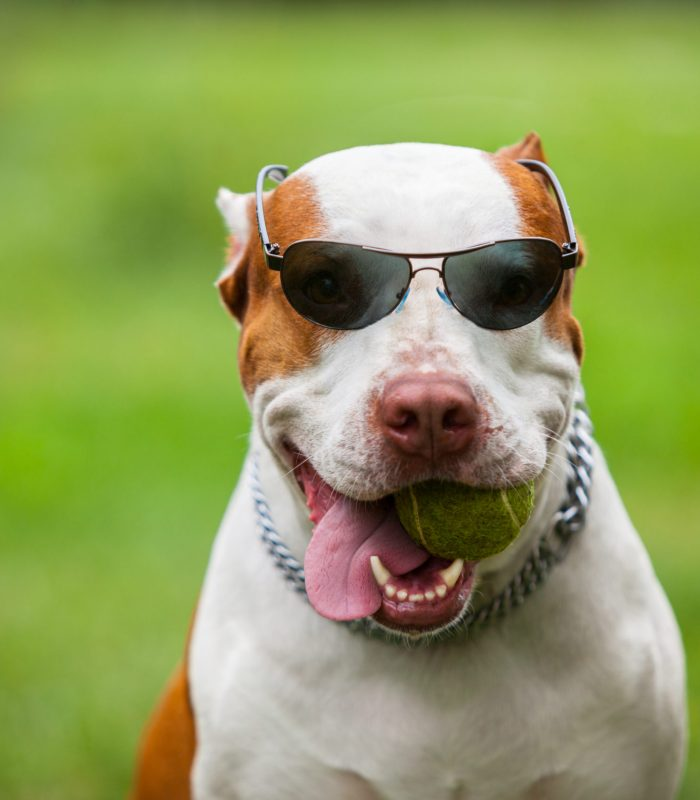 Front view of cute red and white pit bull holding ball in mouth and sticking out tongue. Cool dog in stylish shades posing against green blurred background. Concept of pets and fun.